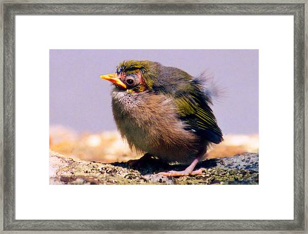 Silvereye Chick Framed Print