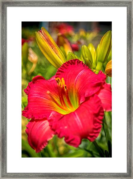 Simple Lily Framed Print