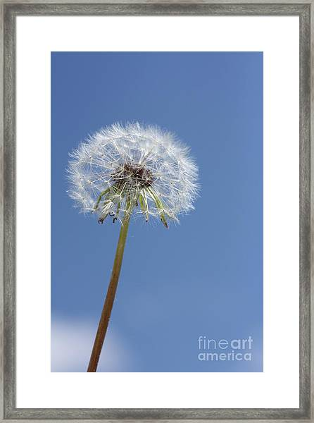 Single Dandelion Framed Print by Rachel Duchesne