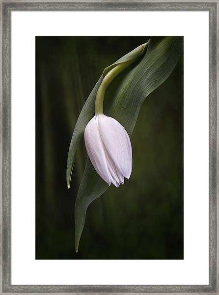 Single Tulip Still Life Framed Print
