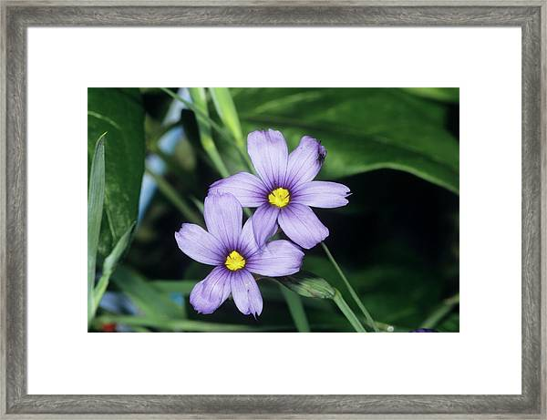 Sisyrinchium Montanum Flowers Framed Print