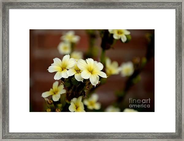 Framed Print featuring the photograph Sisyrinchium Striatum by Scott Lyons