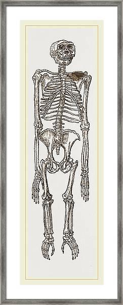 Skeleton Of Chimpanzee Framed Print