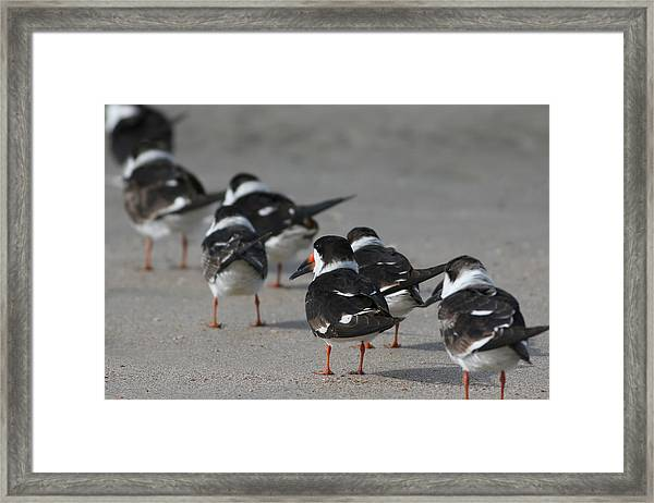 Skimmers On Parade Framed Print
