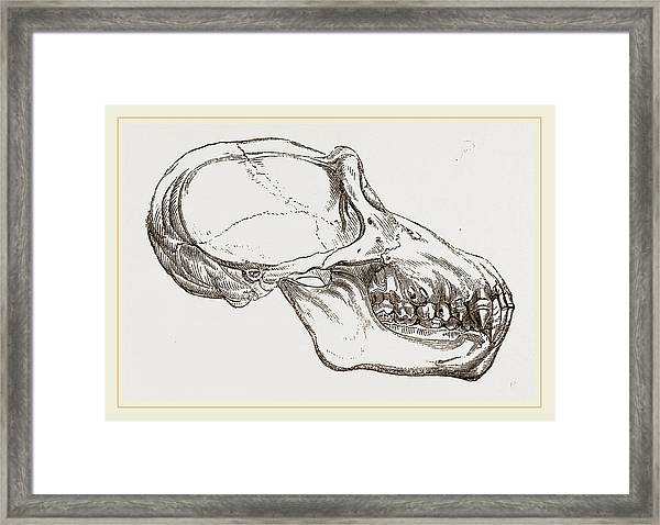 Skull Of Chimpanzee Framed Print