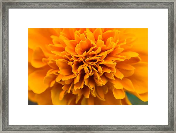 Skunk Flower Orange Framed Print