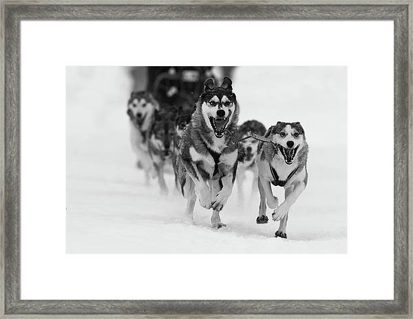 Sleddog Fun Framed Print by Karen Kolbeck