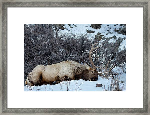 Sleeping Elk Framed Print
