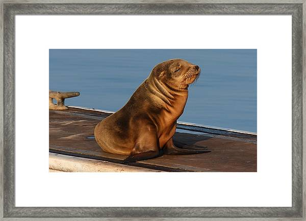 Sleeping Wild Sea Lion Pup  Framed Print