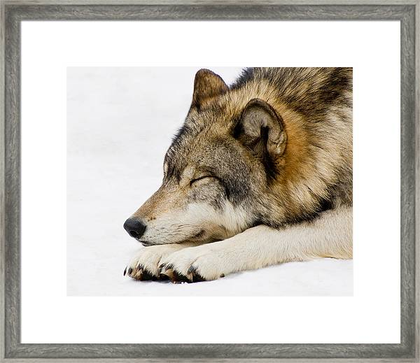 Sleeping Wolf Framed Print