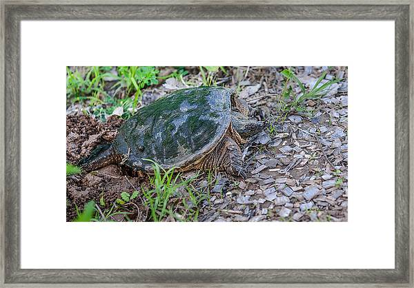 Snapper Eggs Framed Print