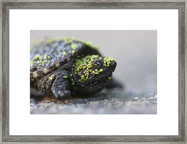 Snapping Turtle Framed Print by Brian Magnier