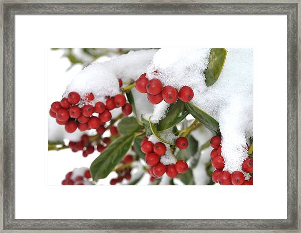 Snow Berries Framed Print