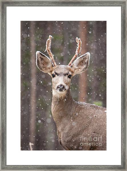 Snow Deer 1 Framed Print
