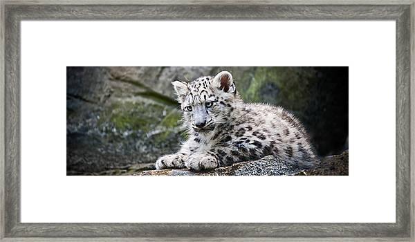Snow Leopard Cub Framed Print