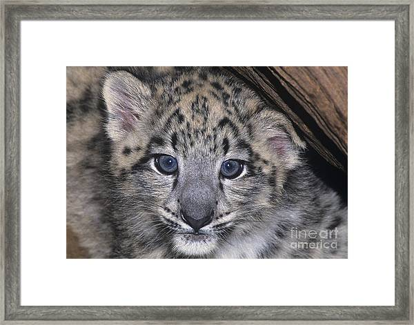 Snow Leopard Cub Endangered Framed Print