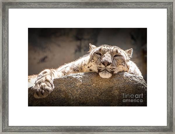 Snow Leopard Relaxing Framed Print