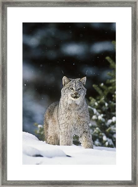 Snow Lynx Framed Print