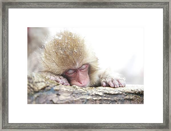 Snow Monkey 5 Framed Print