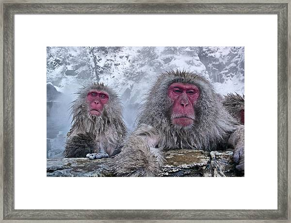 Snow Monkeys In The Hot Springs Framed Print