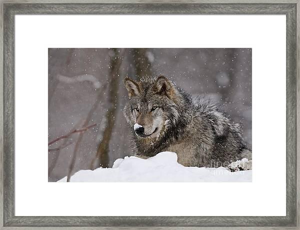 Snow Nose Framed Print