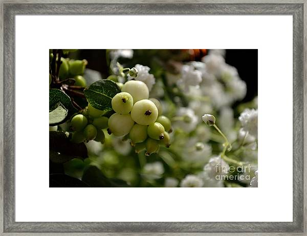 Framed Print featuring the photograph Snowberries by Scott Lyons