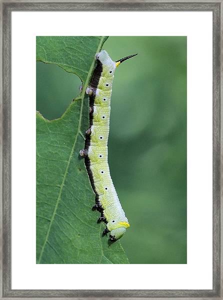Snowberry Clearwing Moth Caterpillar Framed Print