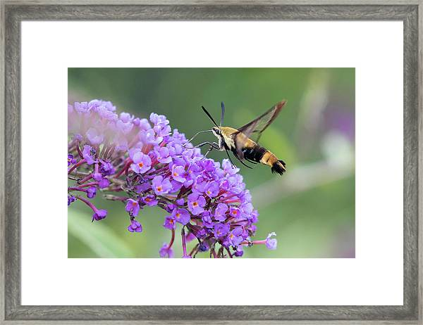 Snowberry Clearwing On Butterfly Bush Framed Print