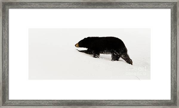 Snowy Bear Framed Print