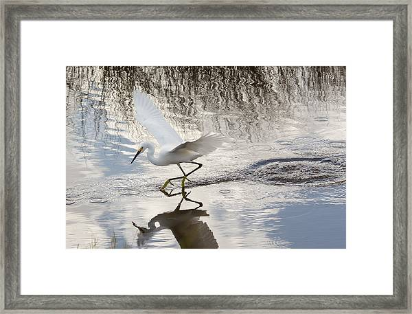 Snowy Egret Gliding Across The Water Framed Print