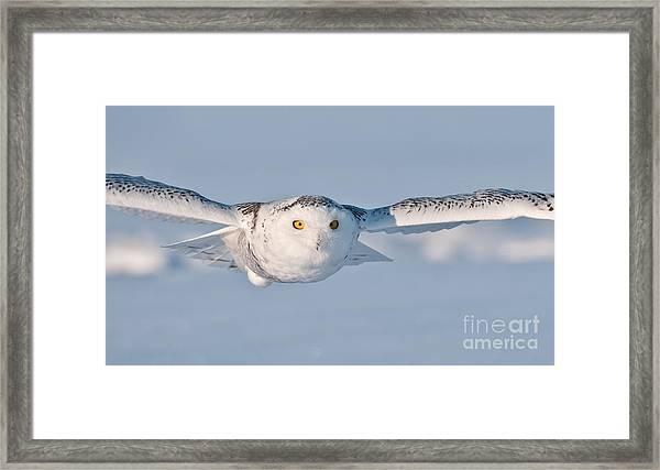 Snowy Owl Pictures 10 Framed Print