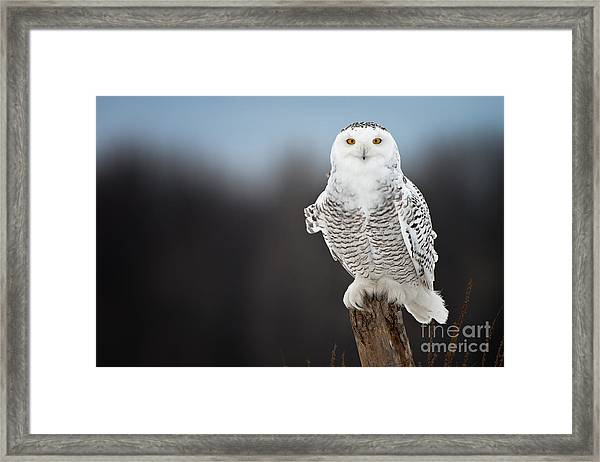 Snowy Owl Pictures 13 Framed Print