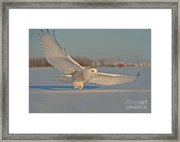 Snowy Owl Pictures 7 Framed Print
