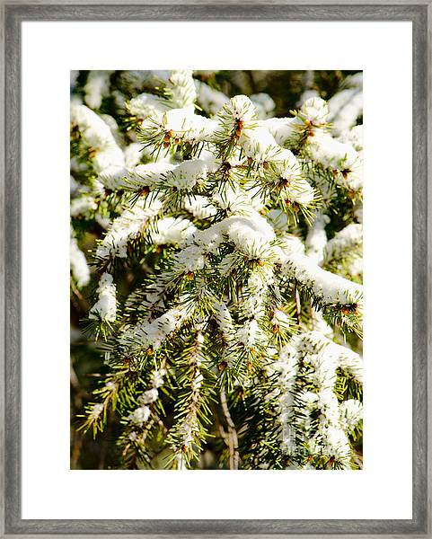 Snowy Pines Framed Print