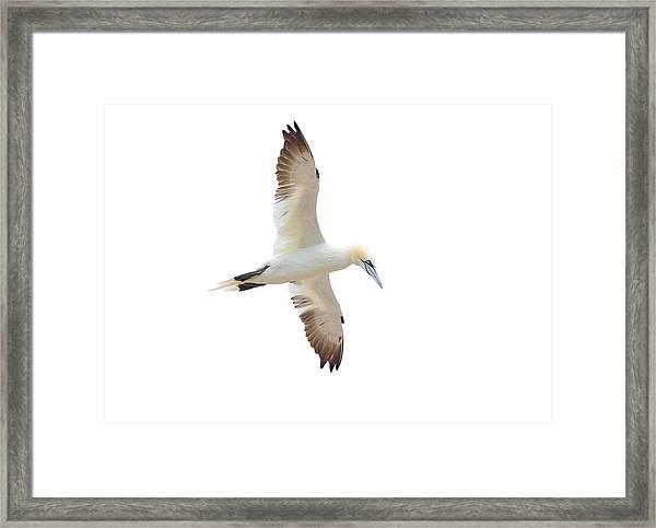 Soarin' Gannet. Framed Print