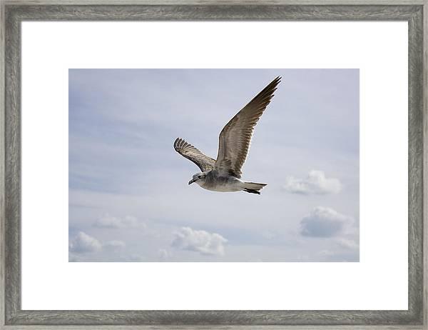 Soaring Gull Framed Print
