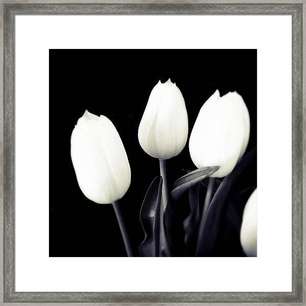 Soft And Bright White Tulips Black Background Framed Print