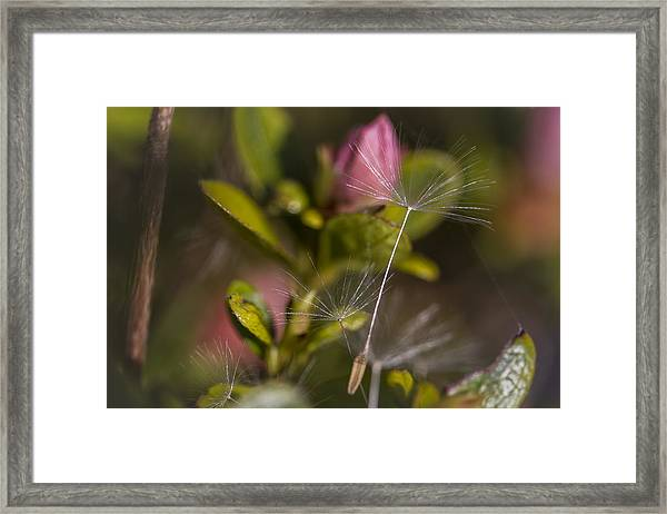 Soft And Delicate Framed Print