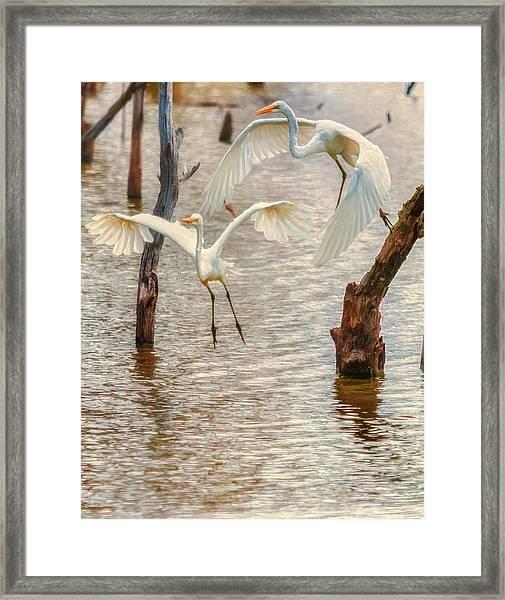 Soft Landing Two Egrets Framed Print