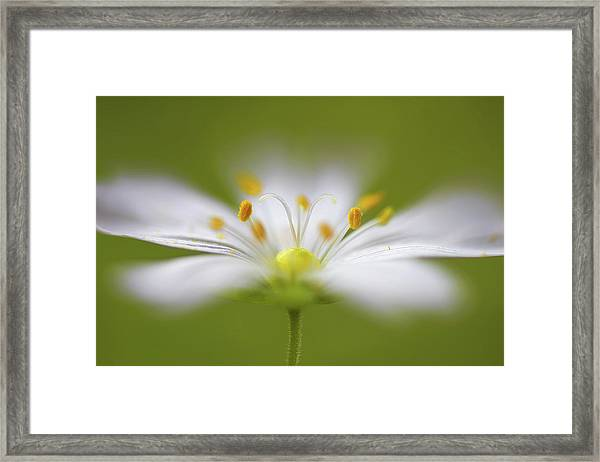 Softly Stitchwort Framed Print