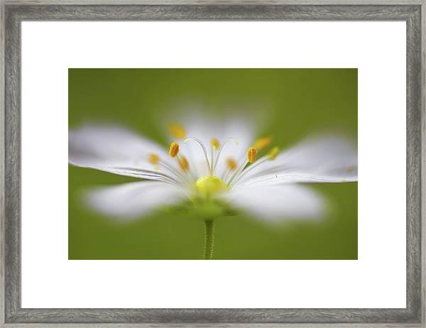 Softly Stitchwort Framed Print by Mandy Disher