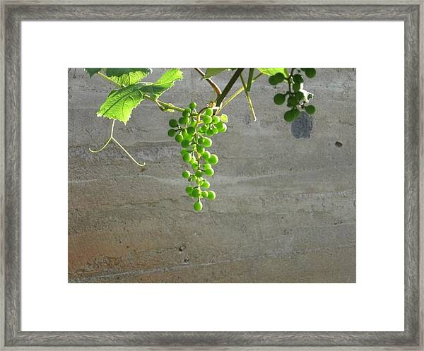 Solitary Grapes Framed Print