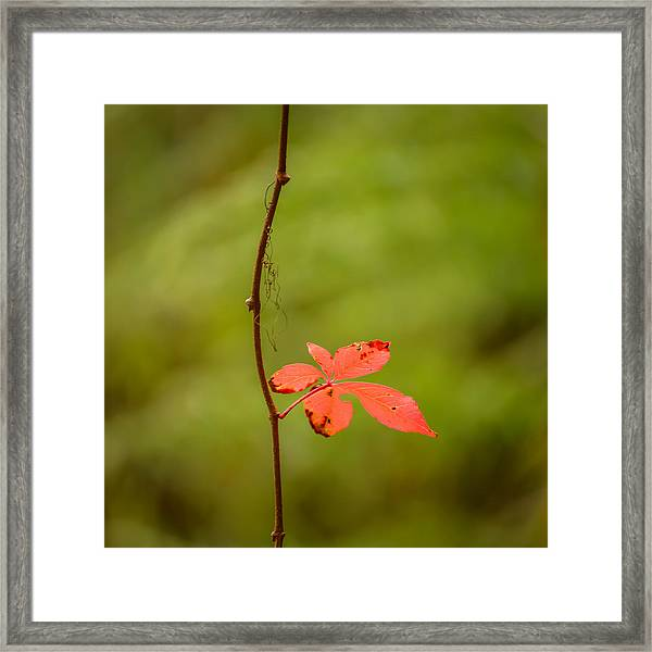Solitary Red Leaf Framed Print