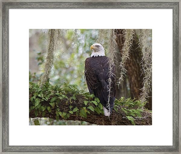Southern Eagle Framed Print