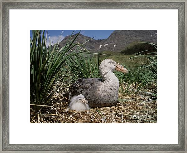 Southern Giant Petrel Framed Print
