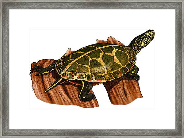 Southern Painted Turtle Framed Print