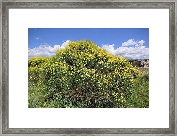 Spanish Broom (spartium Junceum) Framed Print by Bruno Petriglia