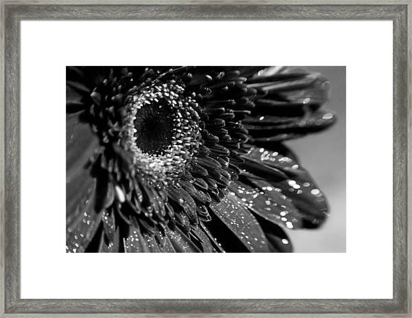 Sparkling Gerbera In Monochrome Framed Print