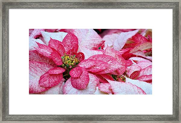 Specialty Poinsettias  Framed Print by Donna Pagakis