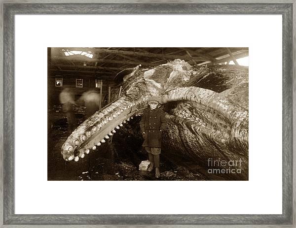 Sperm Whale Taken At Moss Landing California  On January 22 1919 Framed Print